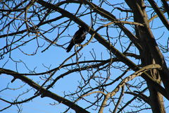 Crow on the tree branches Stock Image