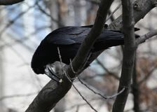 A crow with a crumb in the beak. The crow in a tree. stock photography