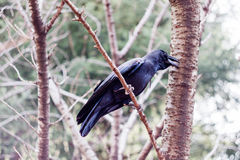 A Crow in a Tree stock photography