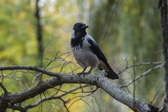 Crow on the tree royalty free stock photos