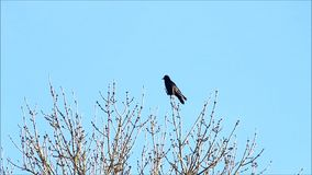 Crow on tree flying away stock video footage