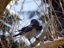 Crow on tree Royalty Free Stock Photos