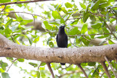 Crow on a tree Royalty Free Stock Image