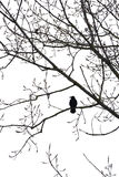 Crow on a tree isolated on white. Silhouette of a crow on a tree isolated on white stock photography