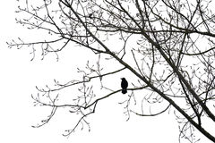 Crow on a tree isolated on white. Silhouette of a crow on a tree isolated on white royalty free stock images