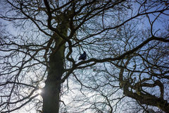 A crow in a tree silhouetted against a blue sky! Along with a bare tree. Crow in a tree silhouetted against a blue sky! Along with a bare tree, in wintertime, UK Stock Photography