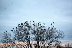 Crow Royalty Free Stock Photos