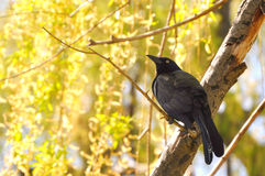 A crow on tree Royalty Free Stock Photo