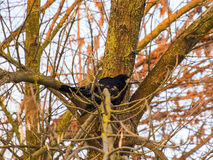 Crow on the tree. A tree without leaves in winter. Crow jumping from branch to branch Royalty Free Stock Photo