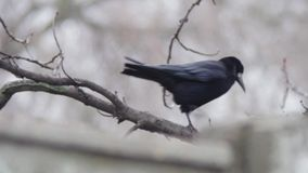Crow on a tree stock footage