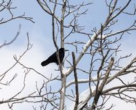 Crow on a tree in winter Stock Images