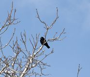 Crow on a tree in winter Royalty Free Stock Photo