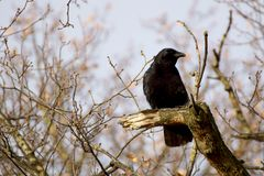 The Crow. A crow in a treetop Stock Photos