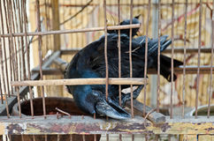 A crow tries to break free from hell cage. A blind crow is seeking its freedom. It is in bad condition and trying to break free by biting the wire cage over and Royalty Free Stock Photography