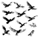 Crow vector illustration set.  Royalty Free Stock Photo