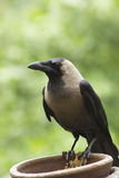 Crow. Waiting for partner in green Royalty Free Stock Photo