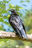 Crow waits in a tree stock images