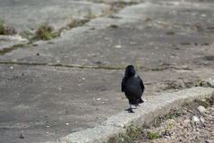 Crow on a walk Stock Image