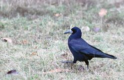 Crow walking in the grass. Black Crow walking in the grass. Raven royalty free stock photo