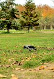 Crow walking through the grass. Royalty Free Stock Photo