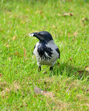 Crow walking through the grass. Stock Photography