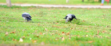 Crow walking through the grass. Stock Image
