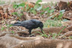 Crow walking on the ground royalty free stock photos