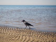 A crow is walking on the sand stock photo