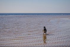 A crow is walking in the sea royalty free stock photography