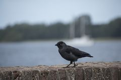 Crow walking on a stone wall close up Royalty Free Stock Photos
