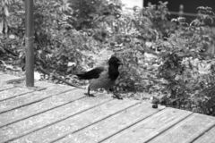 Crow walking the streets of Budapest, Hungary. Black and white royalty free stock photo