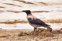 Crow is walking on the waterline Stock Photography
