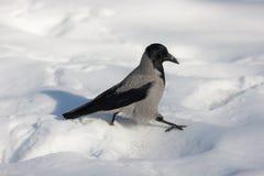 Crow walks through the snow Stock Images