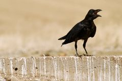 Crow on the wall Stock Photo