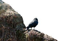 Crow on the wall isolated on white background. Object with clipping path royalty free stock photo