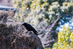 Crow on the wall in nature background. Stock Photography