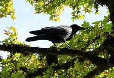 The crow Royalty Free Stock Photos