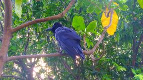 Crow watching from  the tree in the garden Stock Photos