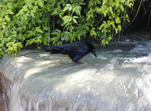 A crow in water Royalty Free Stock Photo
