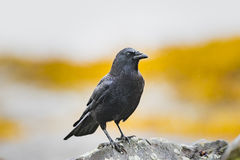 Crow Stock Images