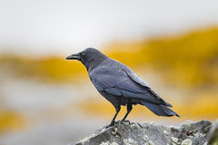 Crow Royalty Free Stock Photography