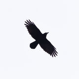 Crow With Wings Spread In Silhouette. A crow in flight with wings spread against a plain square background Stock Photos