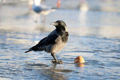 Crow at winter ice Royalty Free Stock Photography