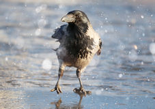 Crow at winter ice Royalty Free Stock Photos