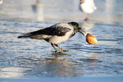 Crow winter on ice Stock Images