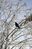 Crow on a winter tree Royalty Free Stock Photos