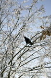 Crow on a winter tree Stock Image