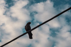 A crow on a wire Stock Image