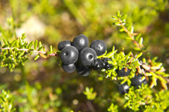 Crowberries Royalty Free Stock Images