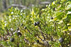 Crowberries. Karelia, north Russia. Crowberries at the forest Stock Photography